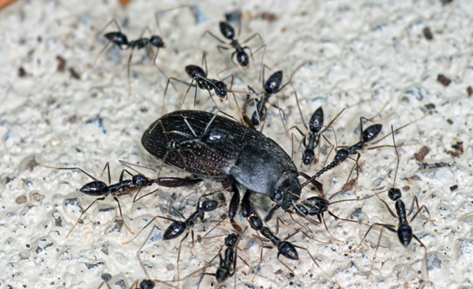 Crazy Ants Feeding on a Beetle