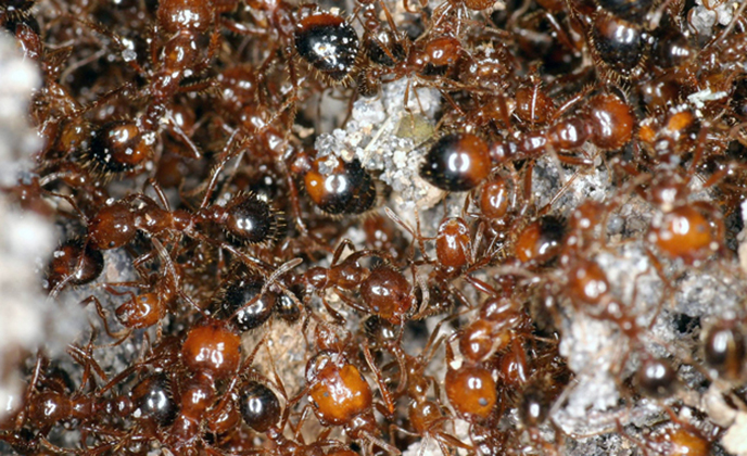 Fire Ant Group
