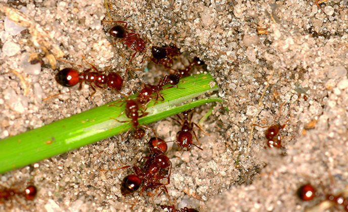 Fire Ants Eating Celery