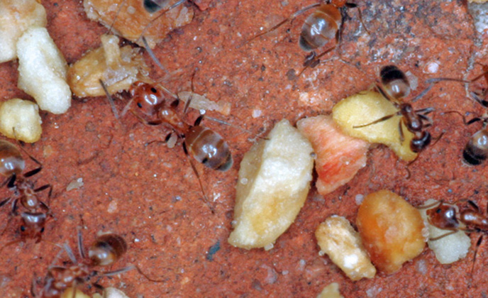 Odorous Ants with Food