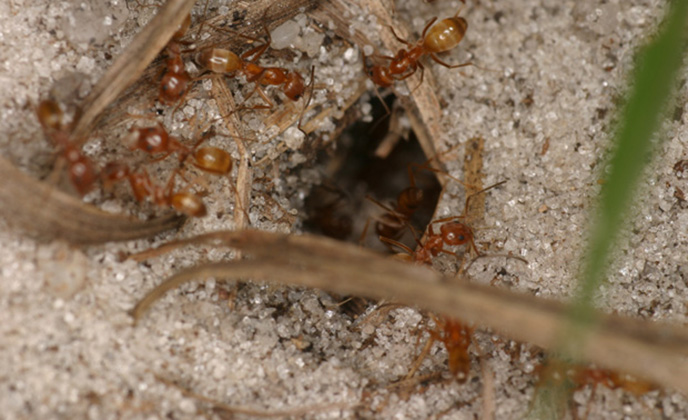 Odorous Ant Group