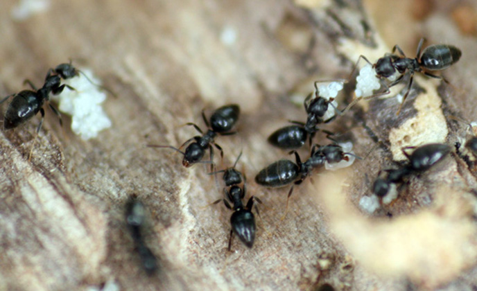 Argentine Ant Group