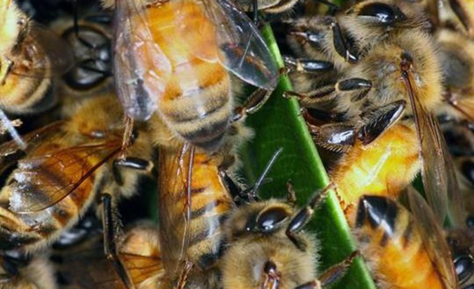 Africanized Honey Bee Closeup