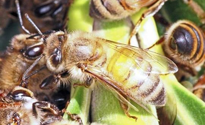 Closeup of an Africanized Honey Bee