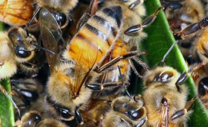 Africanized Honey Bee Group