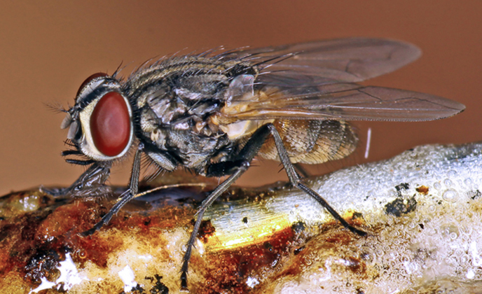 House Fly Closeup