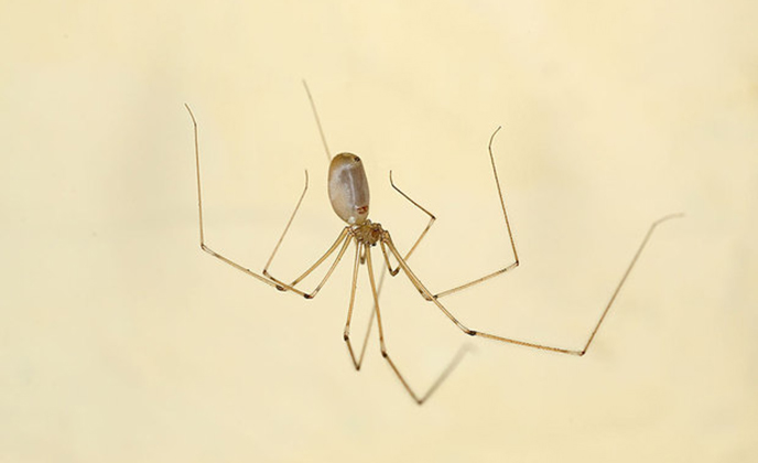 Cellar Home Spider