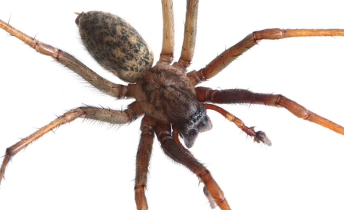 Hobo Spider Closeup