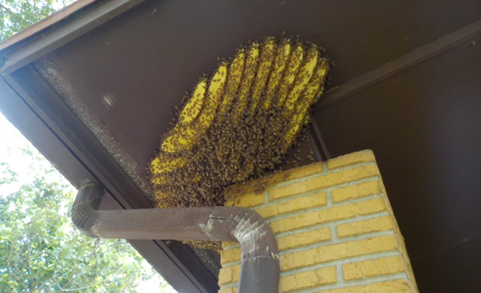 Yellow Jackets on Hive