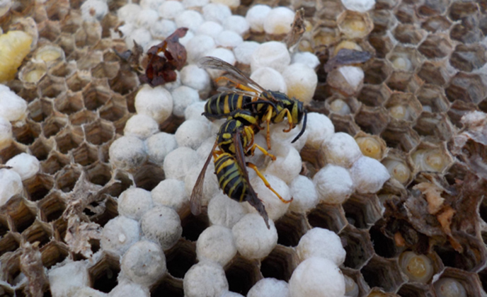 Wasps on Eggs