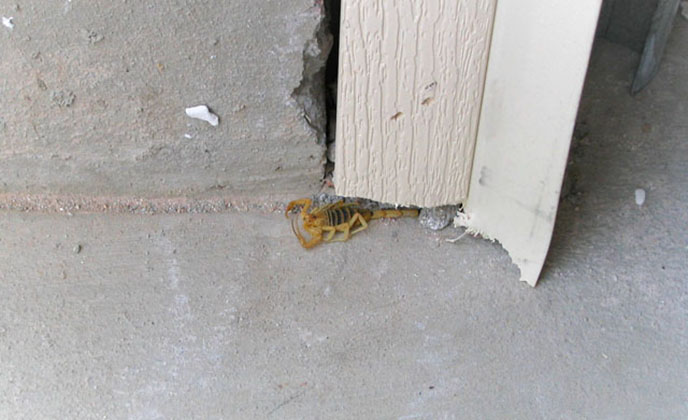 Scorpion Near Gutter