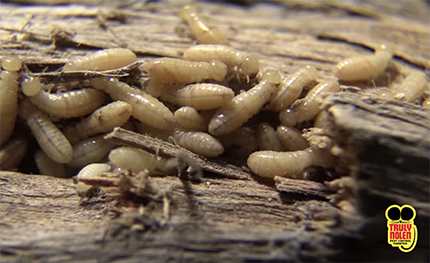 Pest Guide: Drywood Termites