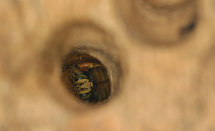 Carpenter Bee in Wood Hole