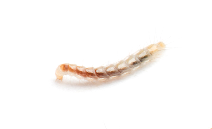 Single Flea Larva