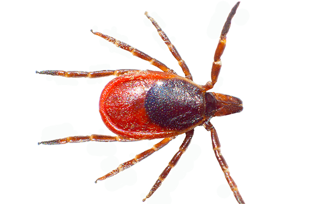 Deer Tick Closeup