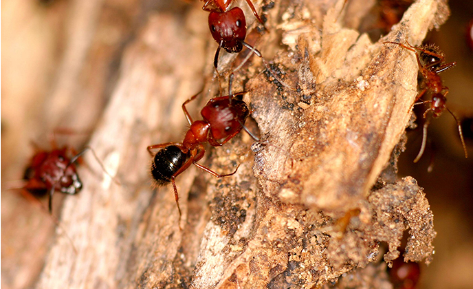 Florida Carpenter Ants on Bark Tree