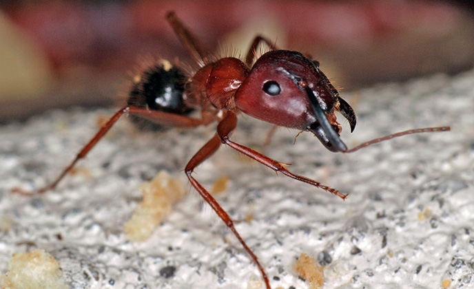 Florida Carpenter Ant Closeup