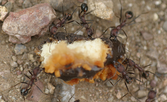 Harvester Ants on Cookie