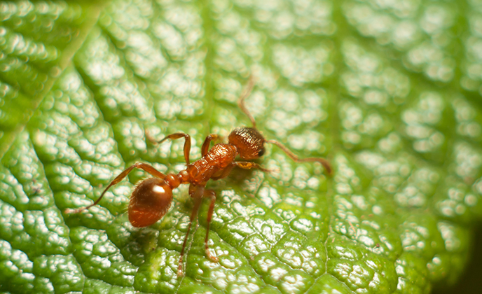 Thief Ant on Leaf