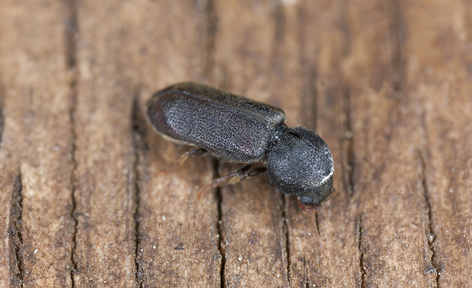 Common Furniture Beetle on Wood
