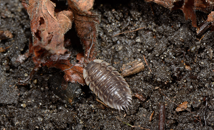Sow Bug in Dirt