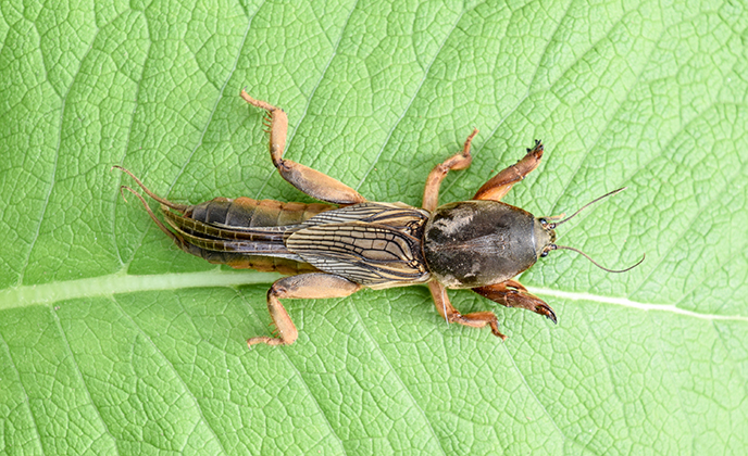Mole Cricket on Leaf