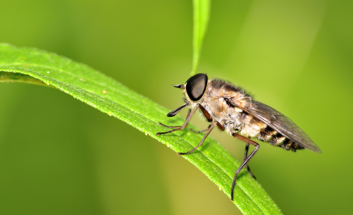 Horse Fly on a Leaf