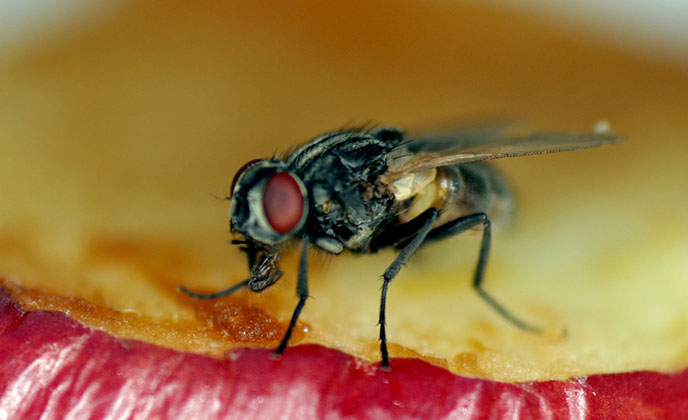House Fly Feeding on an Apple