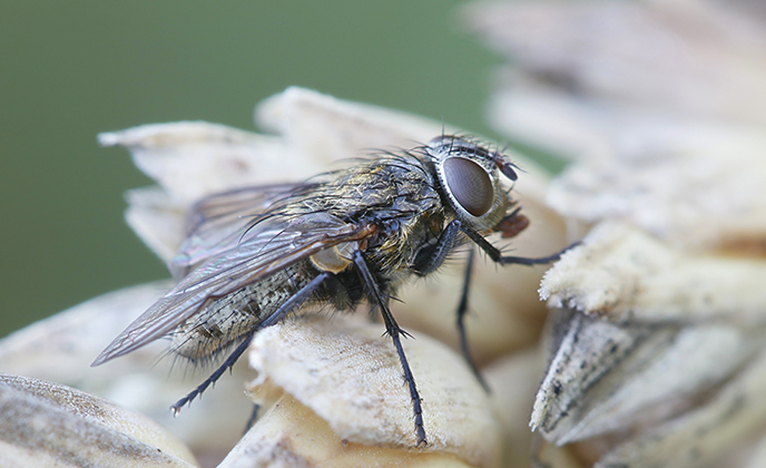 Cluster Fly Closeup