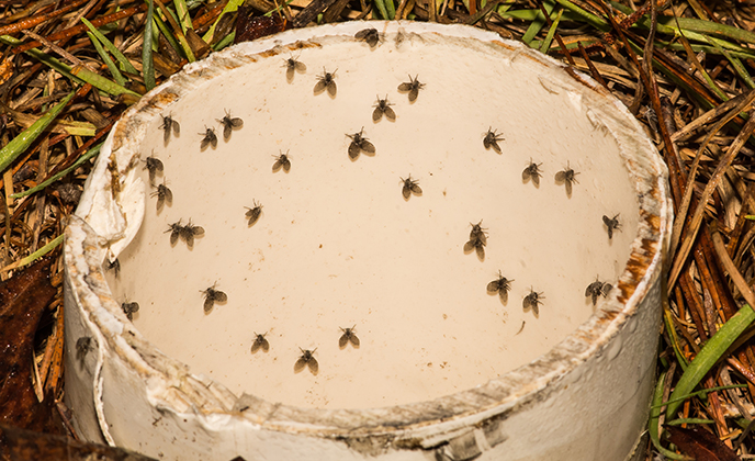 Group of Drain Flies