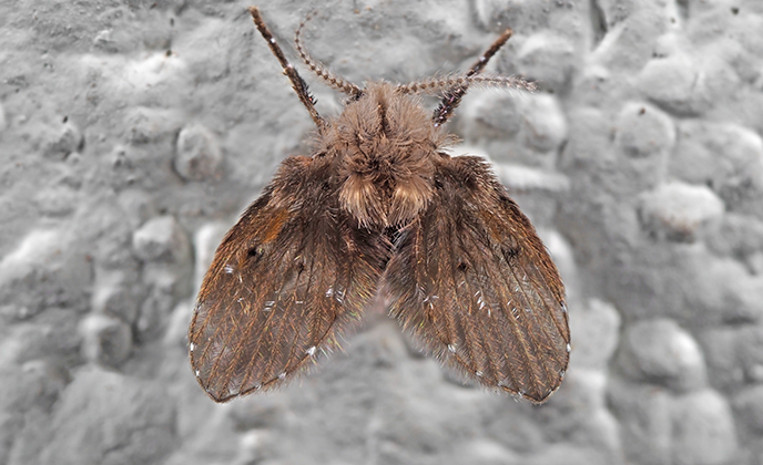 Closeup of a Drain Fly