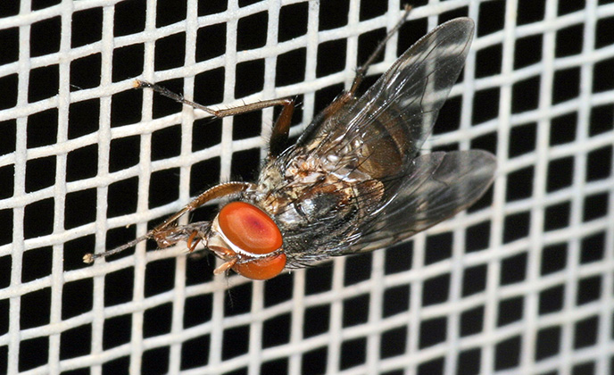 Closeup of a Fruit Fly