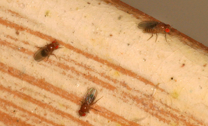 Group of Fruit Flies
