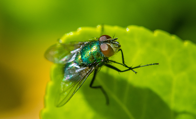 Green Bottle Fly on a Leaf
