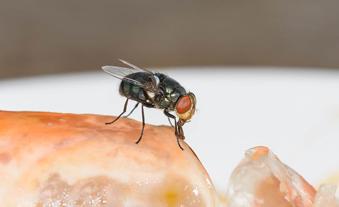Green Bottle Fly on Food