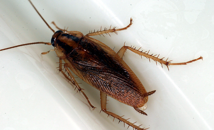 Closeup of a German Roach