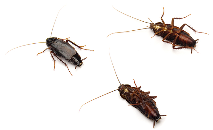 Group of Oriental Roaches