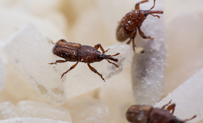 Rice Weevils on Grains of Rice
