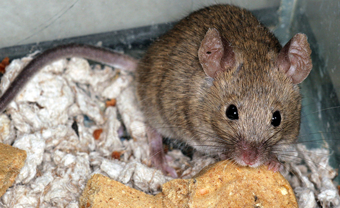 Closeup of a House Mouse in Attic