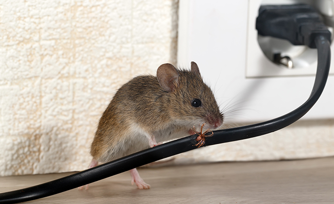 House Mouse Eating Wire