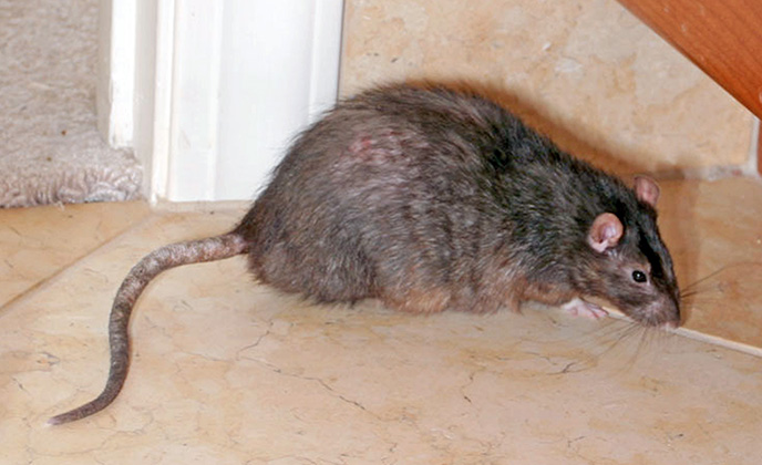 Norway Rat in Bathroom