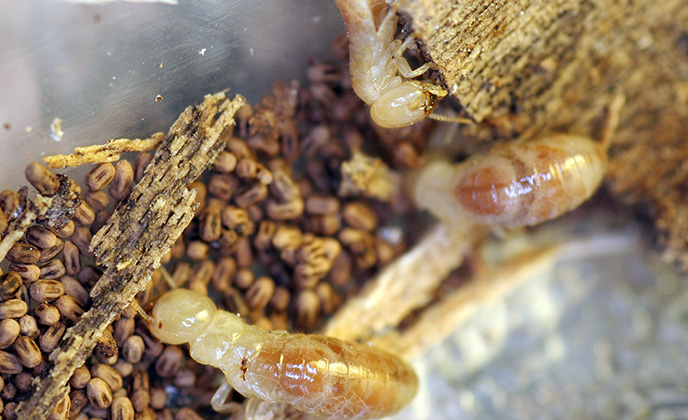 Group of Drywood Termites
